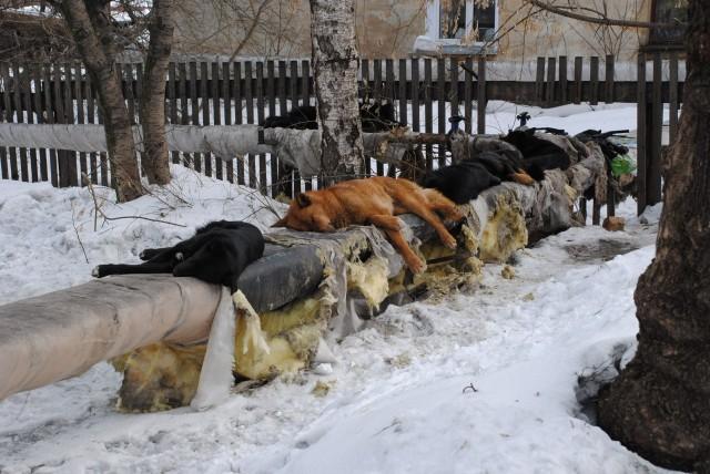 В Брянске организовала лежбище на трубах у детсада стая бездомных собак