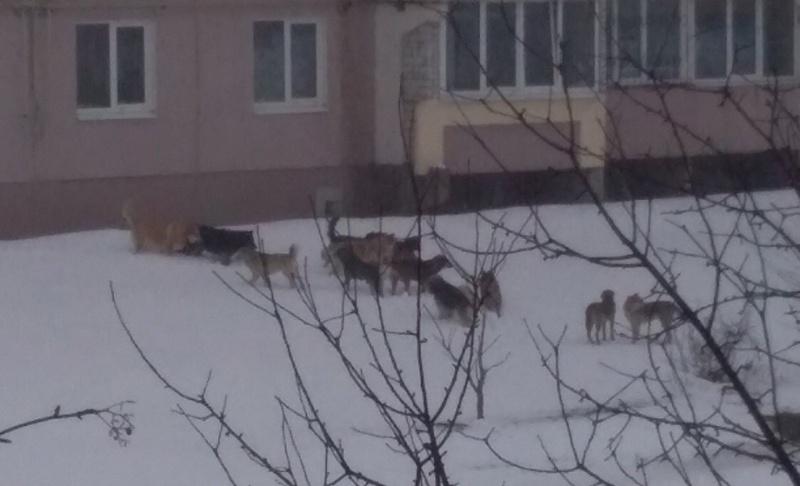 17 сумасшедших собак держат в страхе жителей Бежицы