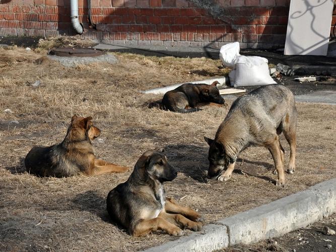 В Брянске на женщину напала стая собак