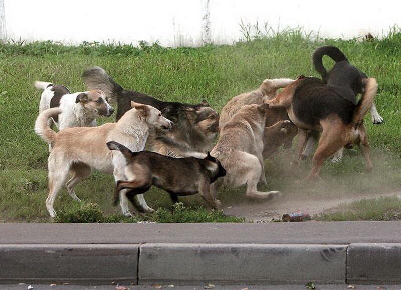 В Брянске на Белорусской агрессивные собаки кусают детей