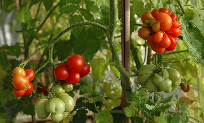 Брянская дачница вырастила редкие чесночные помидоры