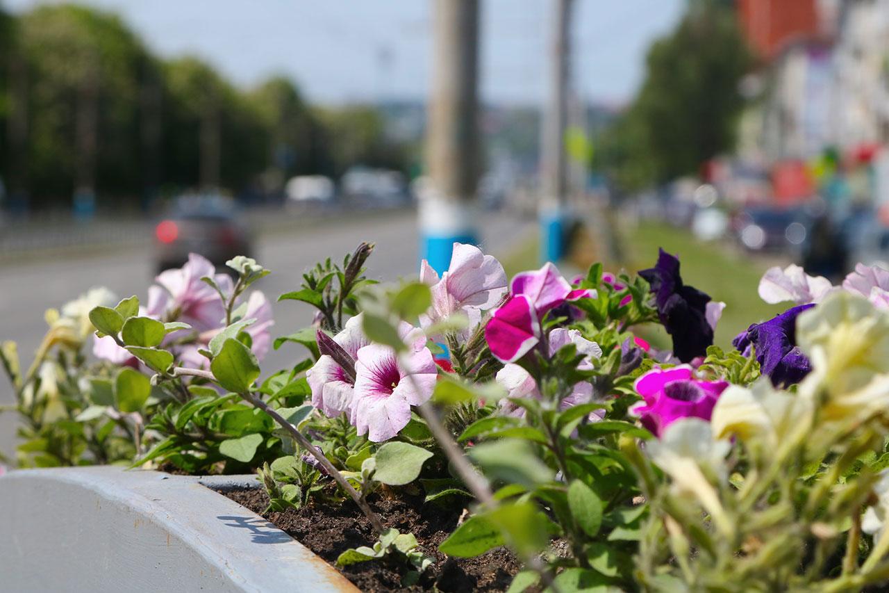 В этом году улицы Брянска украсят 250 тысяч цветов