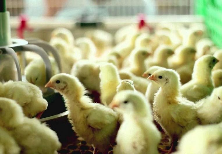 Дятьковскую птицефабрику временно закрыли по решению суда