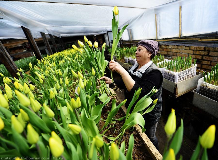 В теплицах Брянска срезают первые тюльпаны к 8 марта