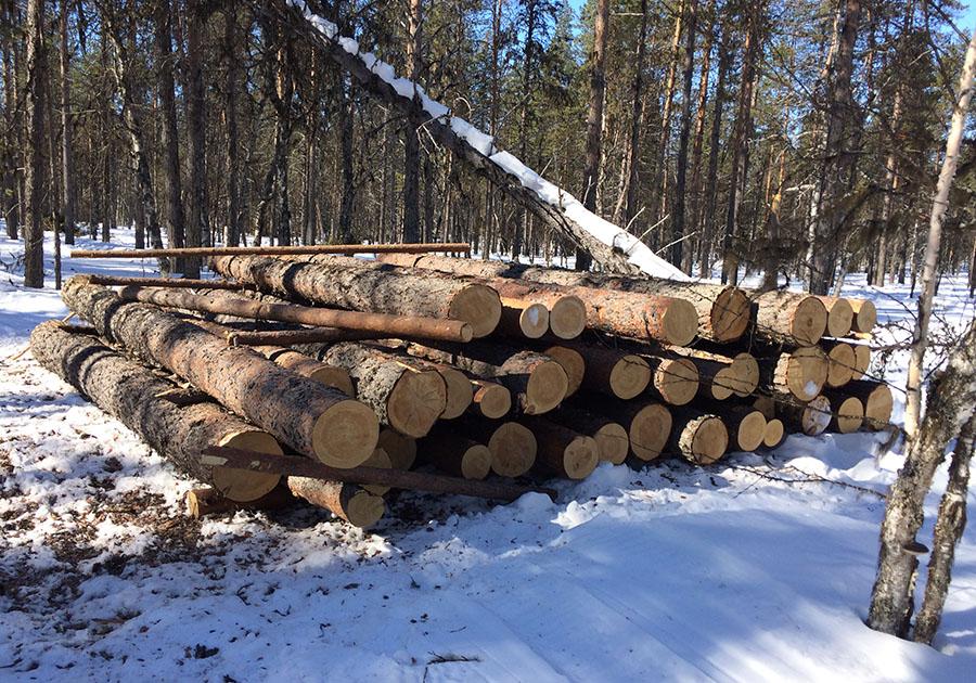 Бывшего лесничего осудят за незаконную вырубку леса в Брянске