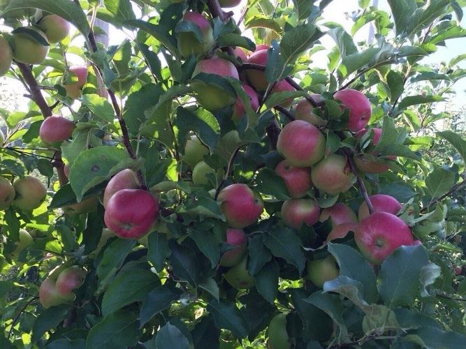 На Брянщине начнут выращивать сербские яблоки