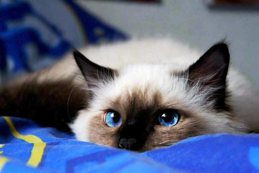 В России названасамая популярная порода кошек
