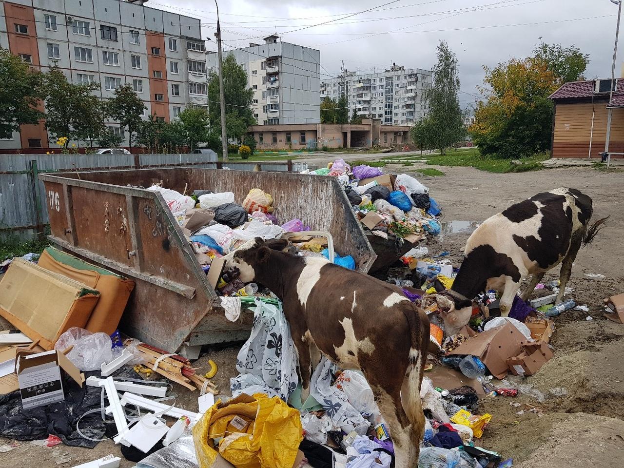 В Бежицком районе Брянска коровы принялись уничтожать мусор