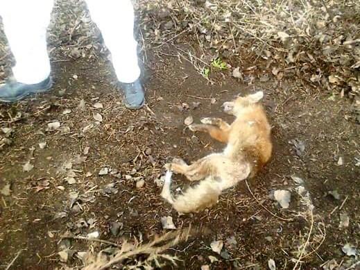 Брянцев предупреждают о нашествии бешеных лис