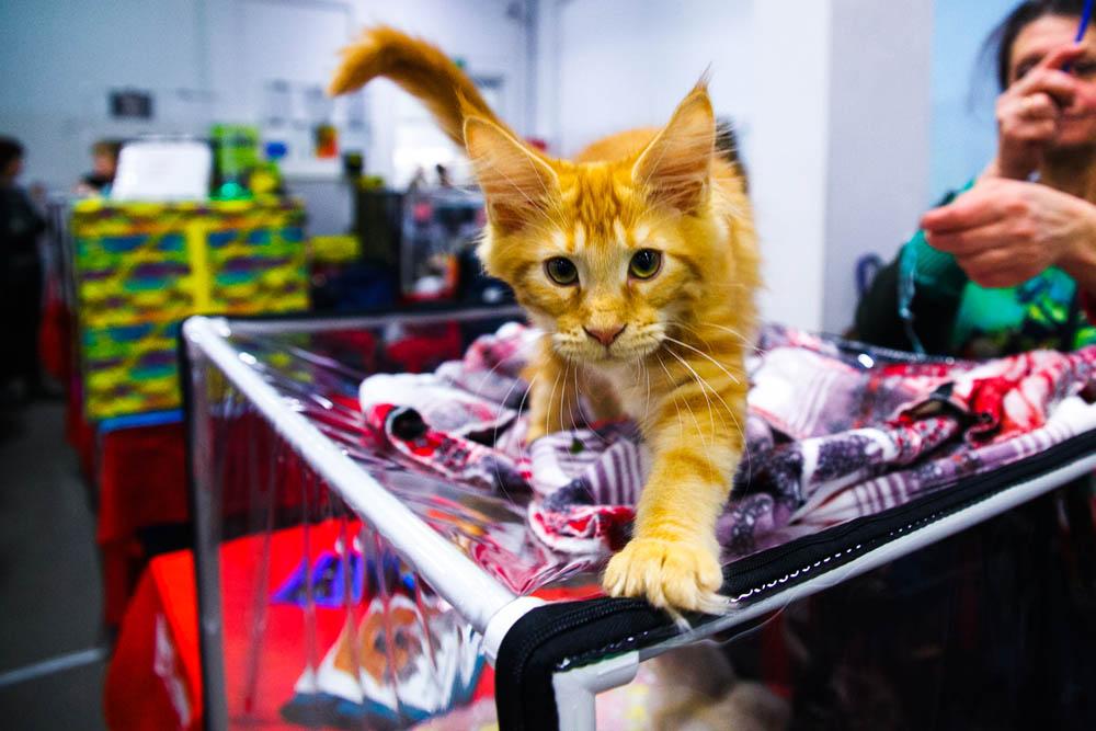 Брянцев зовут на контактную выставку кошек «Забери меня домой»
