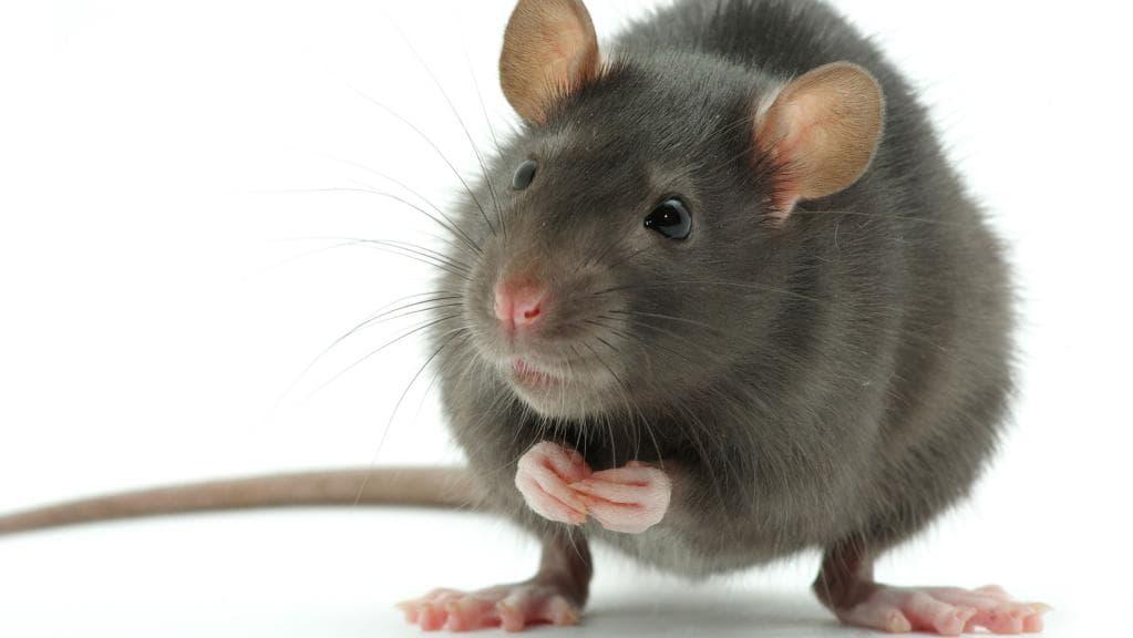 В брянском гипермаркете на видео сняли крысу