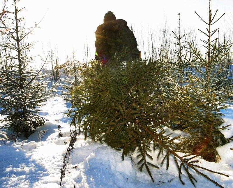 В управлении лесами предостерегли рубить елочки
