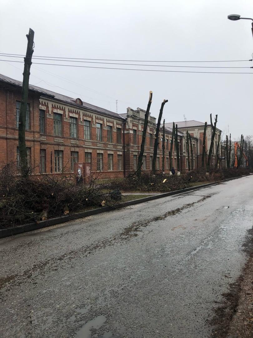 В Брянске чудовищно обкромсали деревья
