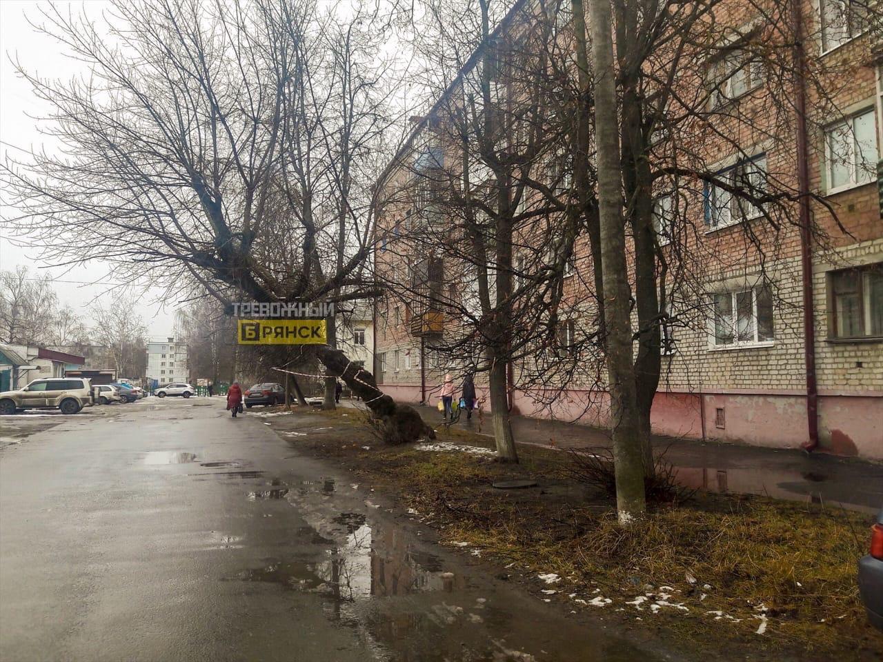 Аварийное дерево в Брянске нависло над дорогой и прохожими