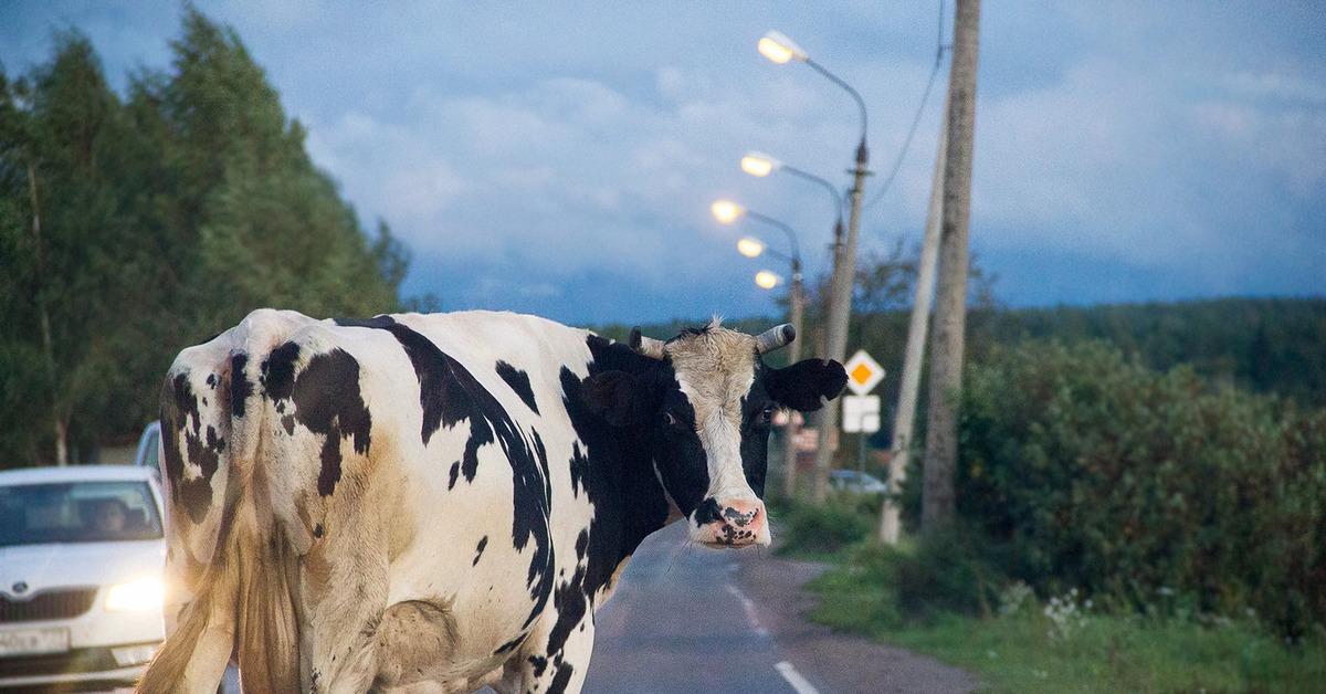 На брянской трассе иномарка влетела в корову