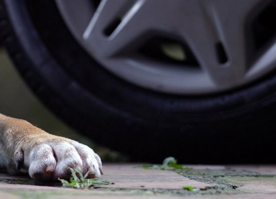 Брянец лишился прав за сбитую собаку