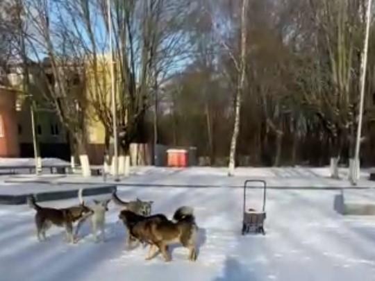 Свору собак заметили брянцы на Кургане
