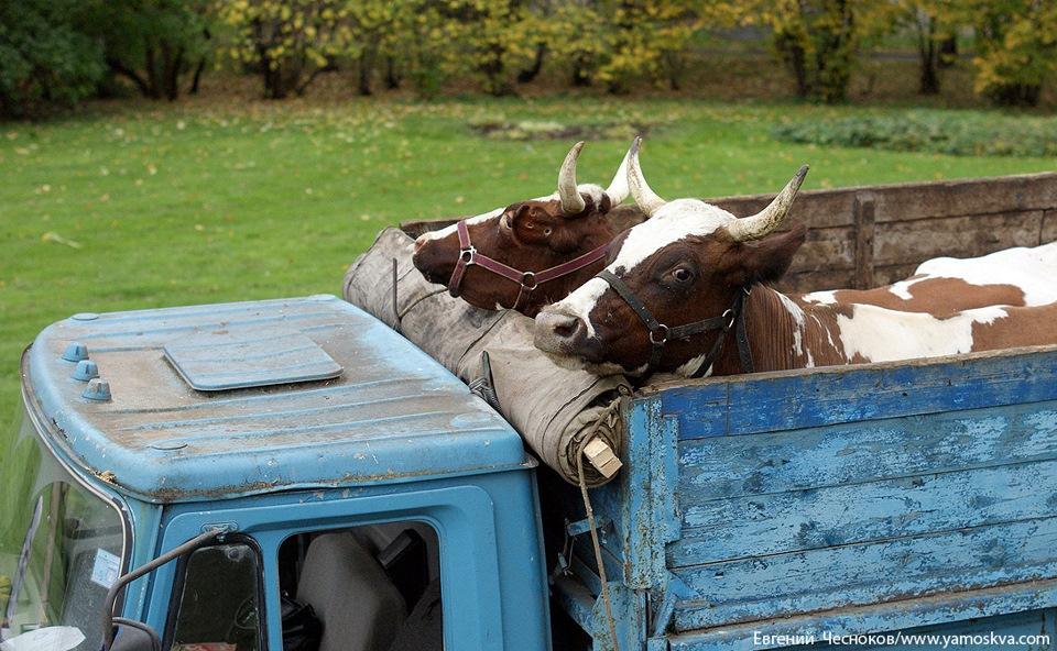 Белорусских телят не пустили в Брянскую область