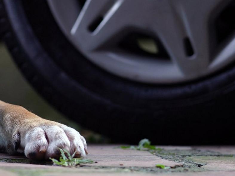 Брянцы сообщили о сбитой возле ЦУМа собаке
