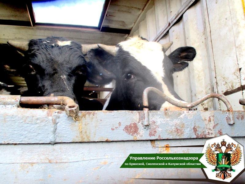 В Брянской области были выявлены нелегальные перевозки 999 голов скота и 2000 голов птицы