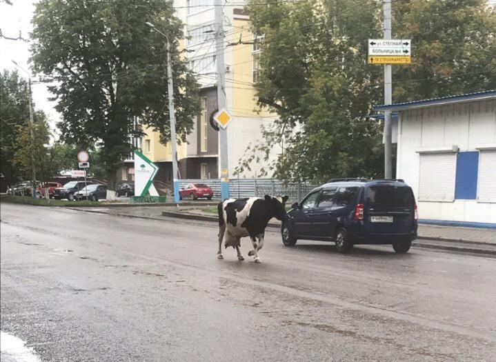 Всю пятницу в Брянске следили за приключениями коровы