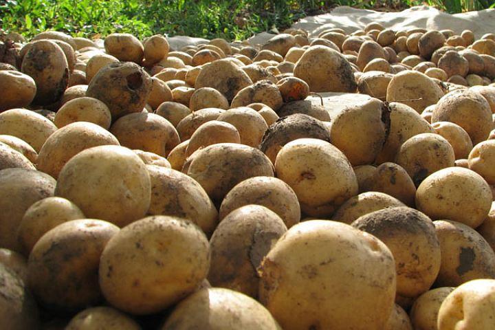 В Брянской области начали собирать зерно и молодой картофель