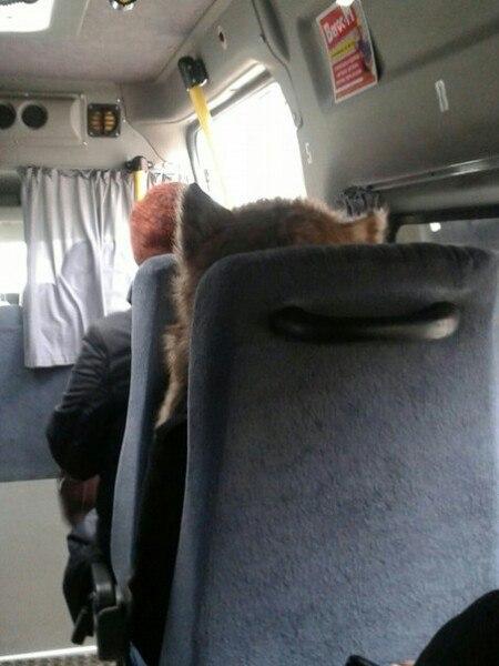 Пассажира с головой кота засняли в брянской маршрутке