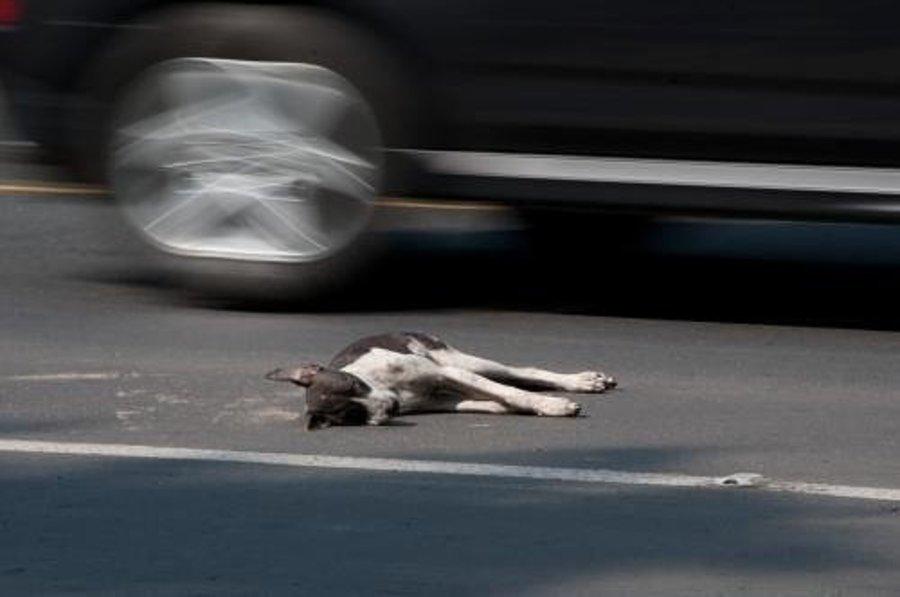 Под Брянском водитель сбил пса и уехал